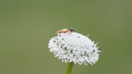 A Whitebanded Crab Spider (Misumenoides formosipes) hunts for prey on a Pineland Bogbutton as a weevil approaches.