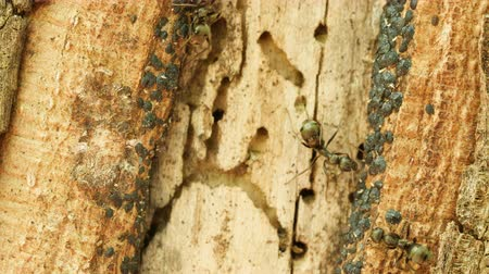 паразитный : Ants (Formica subsericea) tend Tuliptree Scales (Toumeyella liriodendri) on the side of a Tuliptree for their sugary secretion of honeydew.