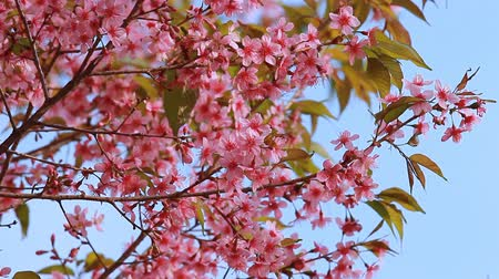 cereja : Branch of pink sakura blossoms at Phu Lom Lo mountain, Thailand