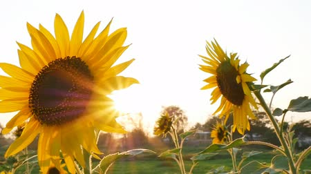 girassóis : Sunflower field during sunset Pan camera