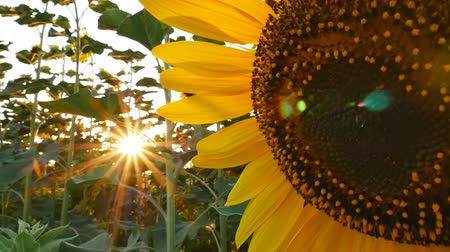 girassóis : Sunflower field during sunset, Tilt up camera