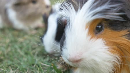 świnka morska : Guinea pig on the grass in the yard