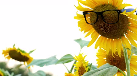 girassóis : Glasses sunflower in the field