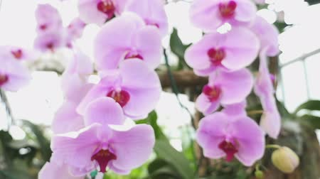 dendrobium : Beautiful Orchid flowers blooming in the garden, Zoom in shot