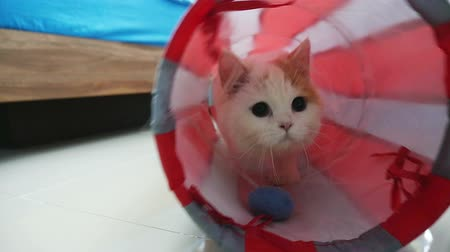 kotě : Little Persian kitten playing in cat tunnel, Slow motion shot