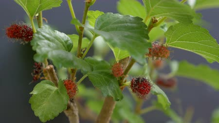dut : 4K : black ripe and red unripe mulberries on the branch, Zoom in