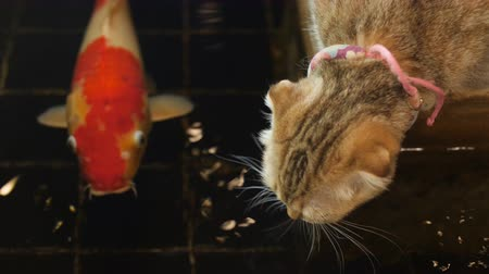 kızılcık : 4K Little love tabby cat drinking water from pond and looking fancy carp fish