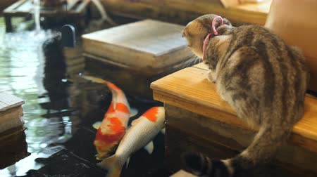 brusinka : 4K Little love tabby cat drinking water from pond and looking fancy carp fish