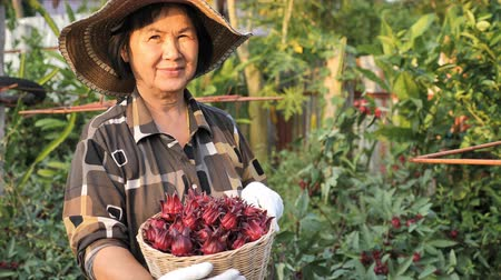 hibiscus : 4K Happy Asian senior farmer harvesting organic fresh red roselle in the farm Stock Footage