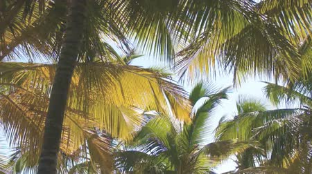 dominikana : green palm trees Wideo