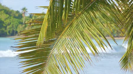 dominikana : palm leaf at caribbean beach Wideo