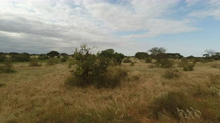 idil : Game drive in the savanna landscape of kenya Stok Video