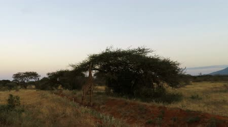 savanna : wild giraffe in the savannah landscape of kenya