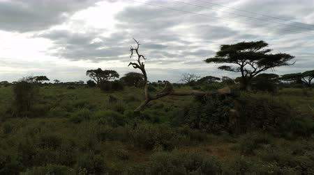 câmara : vervet monkeys in the savannah landscape of kenya
