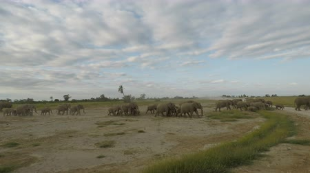 savana : herd of elephants in the savannah landscape of kenya Stock Footage