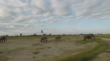 câmara : herd of elephants in the savannah landscape of kenya Stock Footage