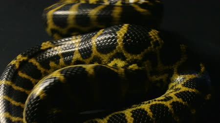 serpenti : Anaconda gialla in nodo Filmati Stock