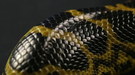 macro shooting : Closeup shooting of snakeskin Stock Footage