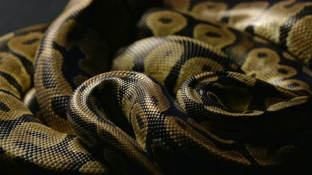 cobra : Snakeskin of royal python in shadow