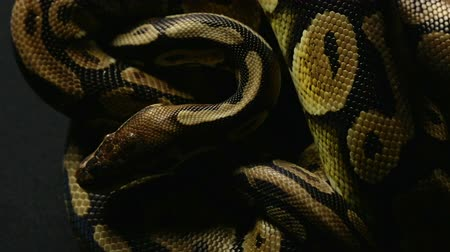 cobra : Pattern of royal ball pythons snakeskin