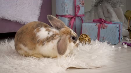 бежевый : Fluffy beige rabbit resting in studio