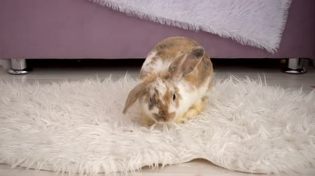 rabbit ears : Video of fluffy beige bunny resting in studio Stock Footage
