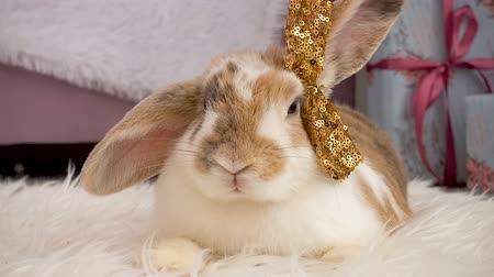 rabbits : Video of cute beige bunny with a bow