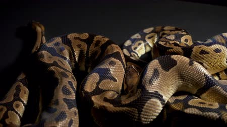 язык : Footage of ball python on black table