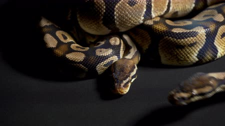 язык : Footage of royal python on black table