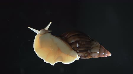molusco : Video of Achatina snails on background, camera rushed down Stock Footage
