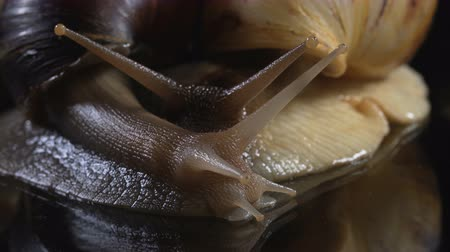 macro shooting : Closeup shooting of snails on dark