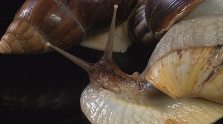 caracol : Closeup shooting of Achatina in dark on glass Stock Footage