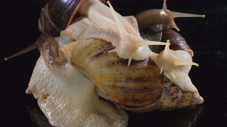 macro shooting : Video Shooting of Achatina snails in dark