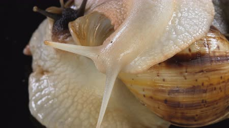 macro shooting : Close up Video Shooting of Achatina snail