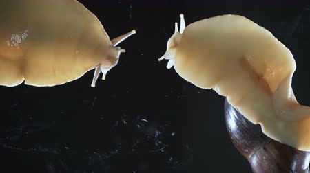 caracol : Video of two Achatina snails on black background
