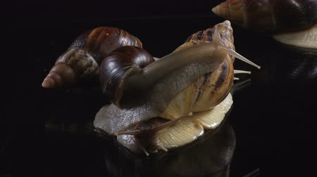 balçık : Closeup shooting of Achatina on dark background Stok Video