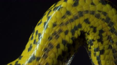 boa : Video of crawling anaconda with bottom view