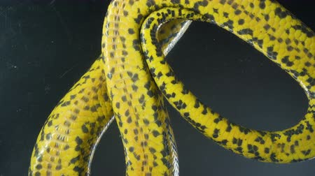 boa constrictor : Video of crawling yellow anaconda with bottom view