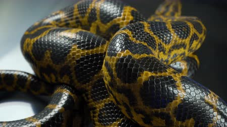 боа : Shooting of crawling yellow boa anaconda