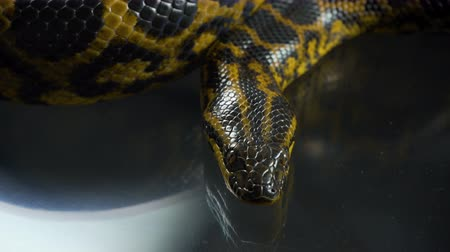 боа : Closeup video of breathing yellow anaconda with head