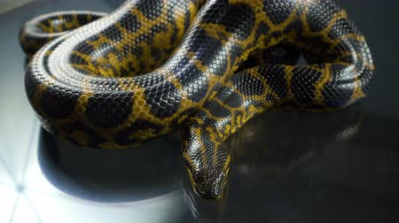 боа : Video of breathing yellow anaconda with head Стоковые видеозаписи