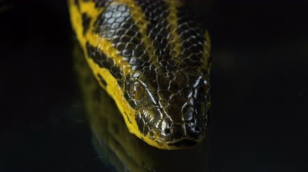 boa : Closeup video of yellow anaconda with head