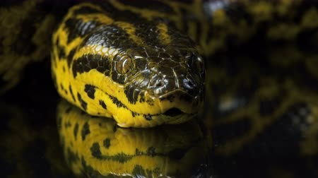 боа : Closeup video of boa anacondas head Стоковые видеозаписи