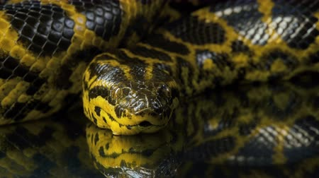 ヘビ : Closeup video of yellow boa anaconda looking at camera