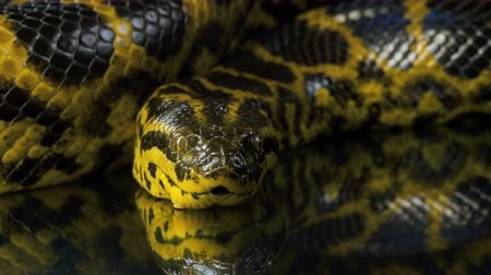 боа : Closeup shooting of looking at camera yellow anaconda