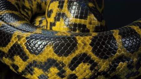boa yılanı : Closeup shooting of crawling yellow anaconda