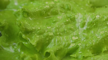 saŁata : Wet green lettuce with water drops