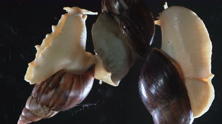 ползком : Close up of three Achatina snails on black background