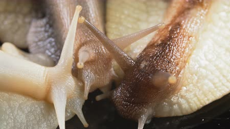 tentacule : Closeup shooting of Achatina snails on black