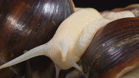 caracol : Closeup shooting of Achatina head on dark background Stock Footage